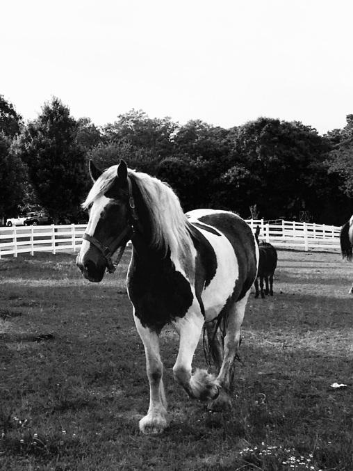 horse c
